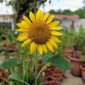 rooftop garden sunflower