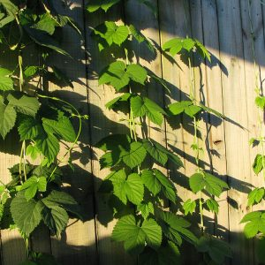 Homegrown hops will need something to climb up.