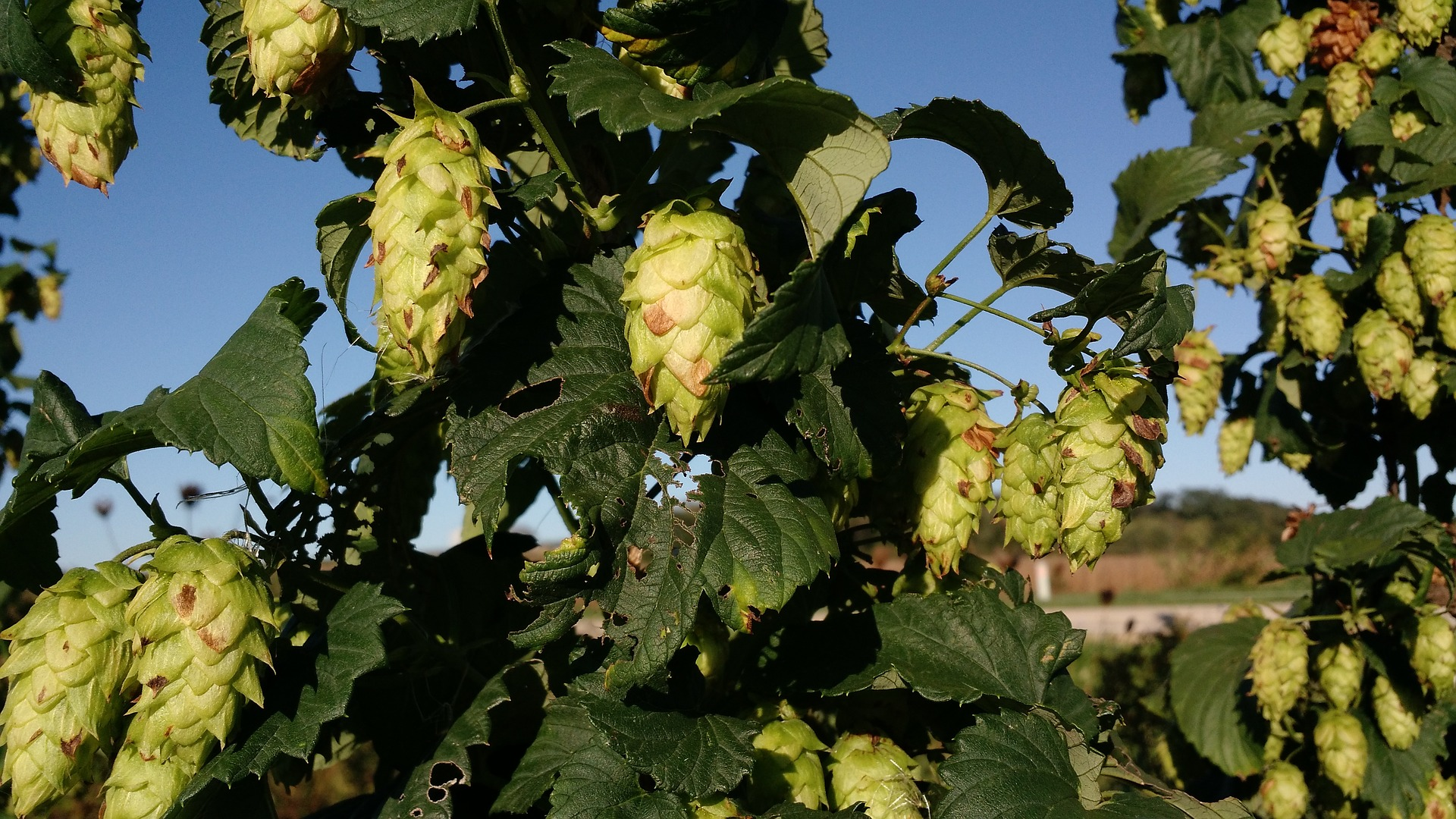 wisconsin craft beer hops vine