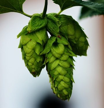 Hops add flavor, bitterness, increase the ABV, and assist in preserving beer for longer periods of time.